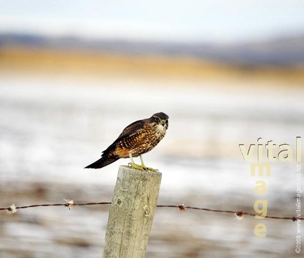 Native New Zealand Falcon Karearea on fence post in Maniototo valley in Winter