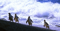 Fiordland_Crested_Penguin,_Hoiho,_emerging_from_surf_on_West_Coast_beach,_South_Westland,_Te_Wai_Pounamu_Unesco_south_west_world_heritage_area