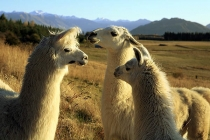 three_white_female_alpacas_with_snowy_mountains_in_background