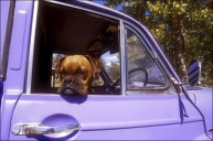 Boxer_Dog_in_drivers_seat_of_Purple_Morris_1000_car