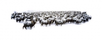 Merino_ewes_in_winter_snow_storm_blizzard_near_Mt_Barker_Central_Otago_New_Zealand