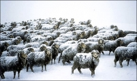 Close_up_Flock_of_Merino_ewes_in_snow_storm_all_looking_towards_camera