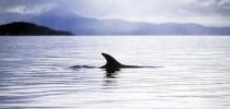 Pilot_Whale_Dorsal_fin_Patersons_inlet_Rakiura_National_Park_Stewart_Island