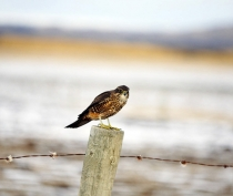 Native_New_Zealand_Falcon_Karearea_on_fence_post_in_Maniototo_valley_in_Winter