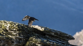 NZ_Falcon_Karearea_Falco_novaeseelandiae_consummate_predator_in_flight_over_lichened_covered_schist_tors_in_Central_Otago_New_Zealand_Karearea_features_on_the_N
