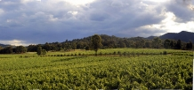 Brokenwood_Vineyard_near_Pokolbin_Hunter_Valley