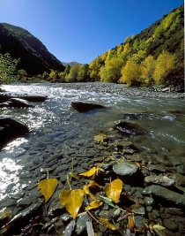 Intact_golden_poplar_leaves_in_the_water_in_autumn_in_the_Arrow_river_near_Arrowtown_Central_Otago