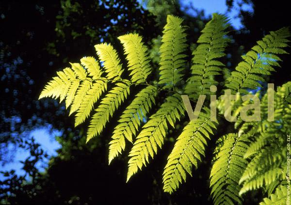 Photo of tree fern frond Dicksonia squarosa in profile from below towards blue sky in forest setting