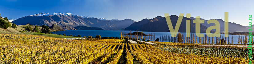 Panoramic Image of Rippon Vineyard Lake Wanaka Central Otago NZ