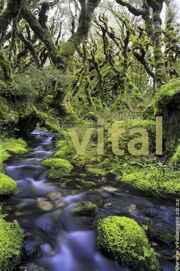 Rain Forest Interior - Crystal Clear Forest stream flowing through moss covered stones and rocks within mountain beech forest on the Routeburn track near Lake McKenzie in Fiordland National Park