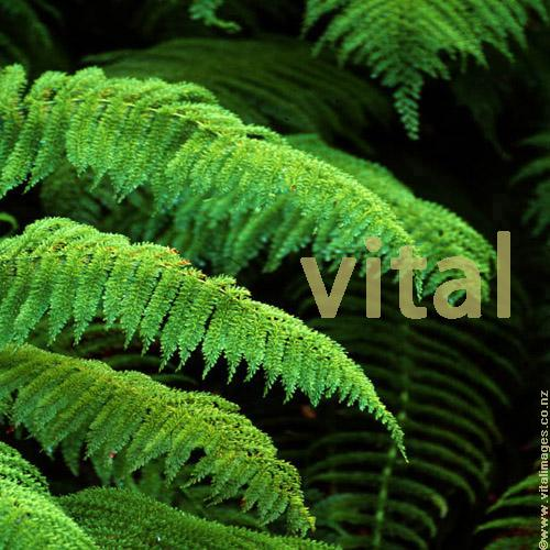Photo of Prince of Wales Feather fern Leptopteris superba (Heruheru) in forest setting near the Blue Pools Makarora valley Haast highway