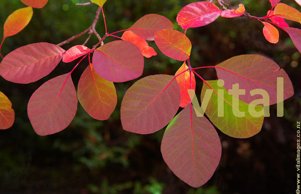 Colourful red and green American Smoketree foliage, Cotinus obovatus,during  autumn at Bindy Wilson's cottage garden at Dublin Bay Lake Wanaka