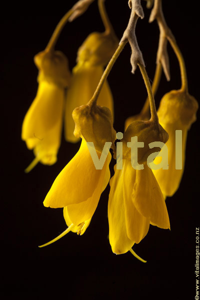 Closeup of bright yellow Kowhai flower blossoms Sophora tetraptera New Zealand's National flower