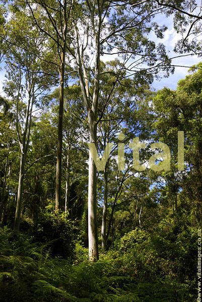 Eucalyptus Forest Interior near Barrington Tops National Park Chisester Forest Park Hunter Valley NSW Australia