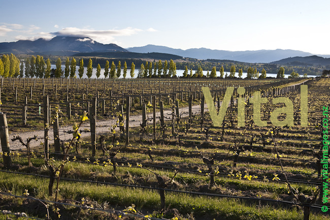 New Spring Growth on Pinot Noir Grapevines at Rippon Vineyard Lake Wanaka Central Otago New Zealand