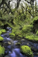 Rain_Forest_Interior___Crystal_Clear_Forest_stream_flowing_through_moss_covered_stones_and_rocks_within_mountain_beech_forest_on_the_Routeburn_track_near_Lake_M
