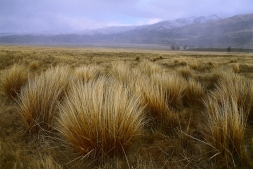 Photos_of_New_Zealand_Native_Tussock_Vegetation_Nature_Natural_History_Wild_Places_Alpine_Valleys