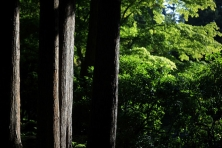 Trunks_of_mature_Cedar_trees_in_British_Columbia_forest