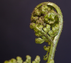 New_Life_Symbol_Koru_Close_up_photo_of_emerging_fern_frond_MotifSymbol_of_New_Life_Asplenium_bulbiferum_inside_Aotearoa_New_Zealand_Rainforest