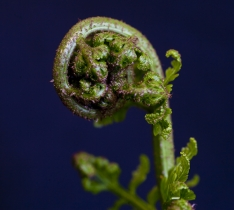 Image_of_Koru_emerging_fern_frond_MotifSymbol_of_New_Life_Asplenium_bulbiferum_inside_Aotearoa_New_Zealand_Rainforest
