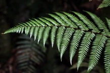 Single_Hen_Chicken_Fern_Frond_in_rain_forest_Fern_Gully_track_Rakiura_Stewart_Island