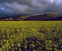 Field_paddock_of_carrots_grown_for_seed_production_with_mountains_and_moody_cloud_in_background_near_Mt_Barker_Central_Otago