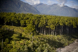 Primordial_Kahikatea_Forest_adjacent_to_the_Coastline_at_Bruce_Bay_Jacobs_River_South_Westland